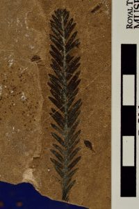 Fossilized branch with leaves extending from each side
